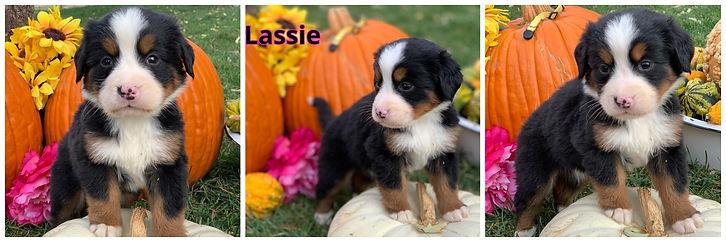 Lassie - female - yellow.jpg