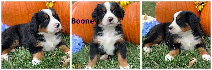 Boone - male - lavendar.jpg