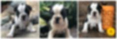 Domino - MaryBear's pup.jpg
