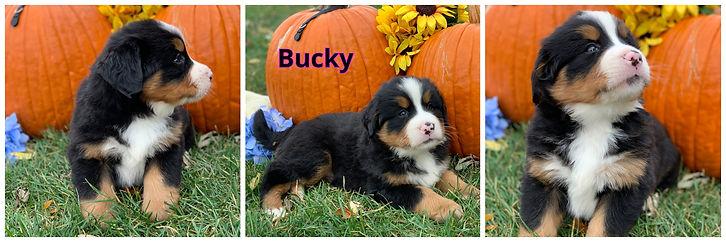 Bucky - male - black.jpg