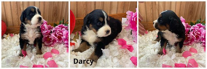 Darcy.jpg