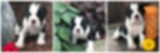 Daisy - female - Carrie's pups.jpg