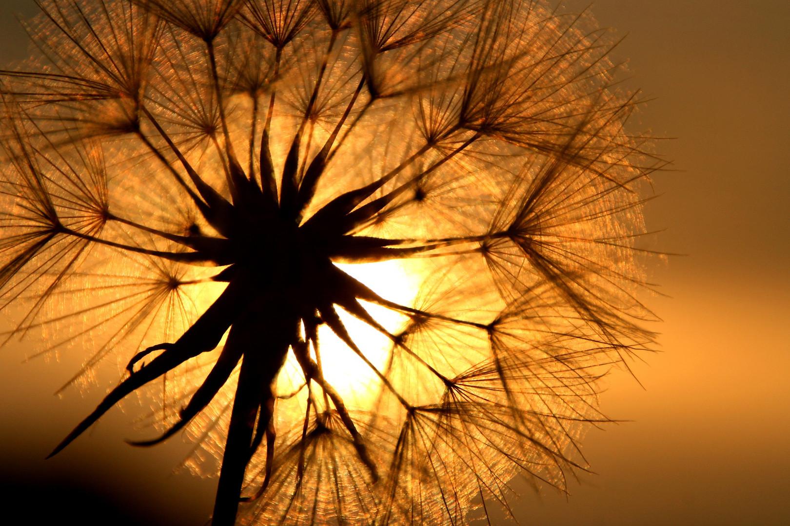 dandelion-1684903_1920.jpg