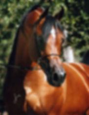 Invictus PCF arabian stallion