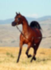 Abilene PCF arabian mare PCF Arabians