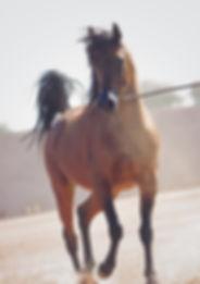 En Vogue FA arabian mare PCF Arabians