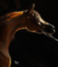 Donatella Versace arabian mare PCF Arabians