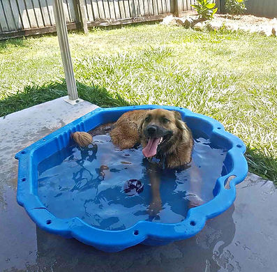 This water lover didn't want his backyard bath to end so he jumped stright in his private pool! (Riley)