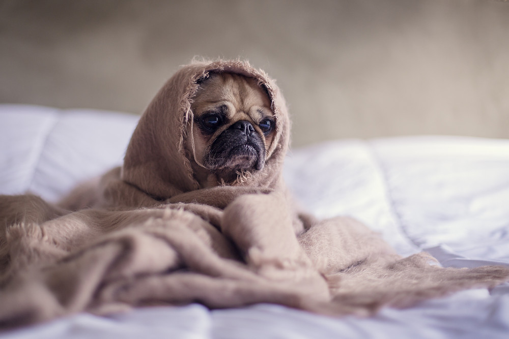 awkward embarrassing moments inspire a sleepy pug dog to hide in bed
