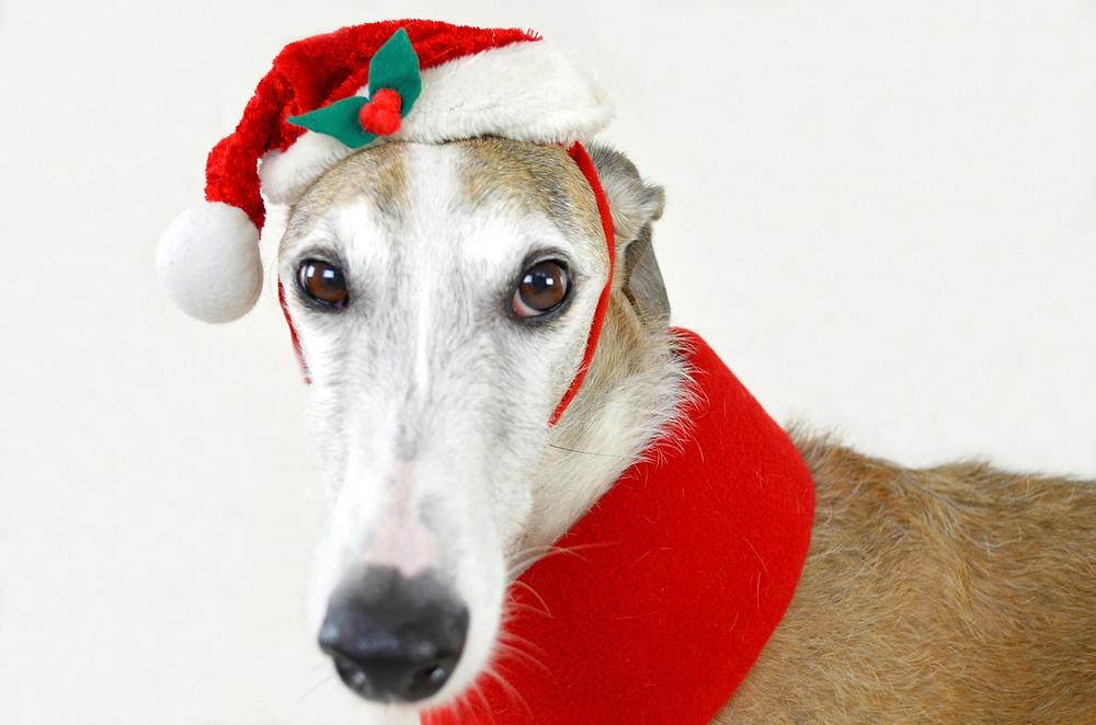Greyhound dog in a santa hat