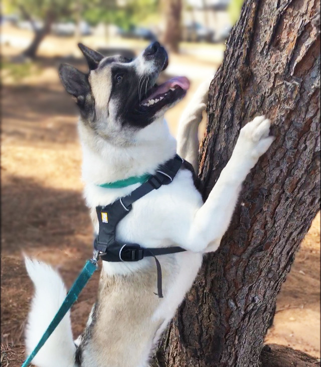 Husky in a harness chasing squirrel up a tree