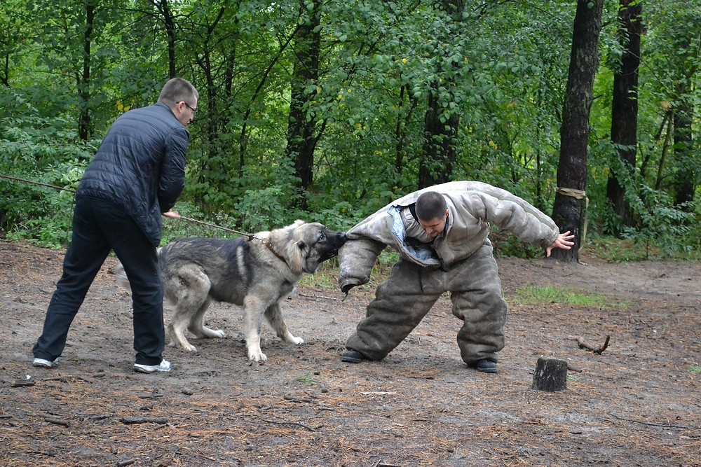 Police dog learning to catch a criminal, man used as bait