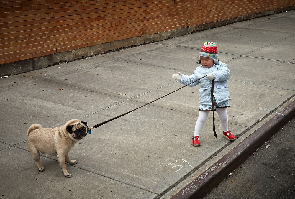 toddler kid trying to walk a pug dog that's pulling away