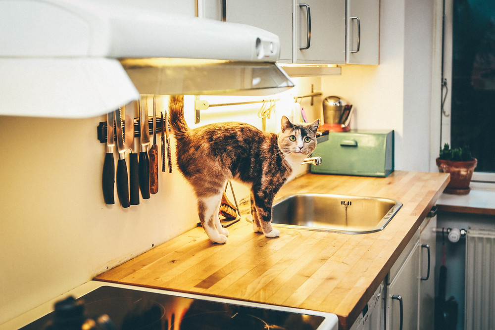 suspicious brown and white cat standing on the kitchen counter