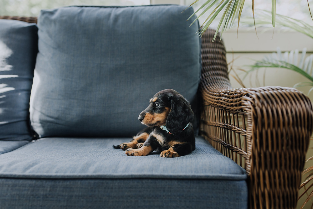 A cute Beagle puppy sitting on a blue wicker couch