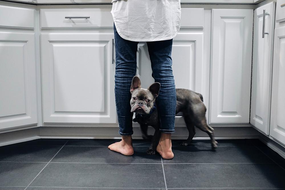 Nervous grey French Bulldog hiding behind owner/pet sitter in kitchen