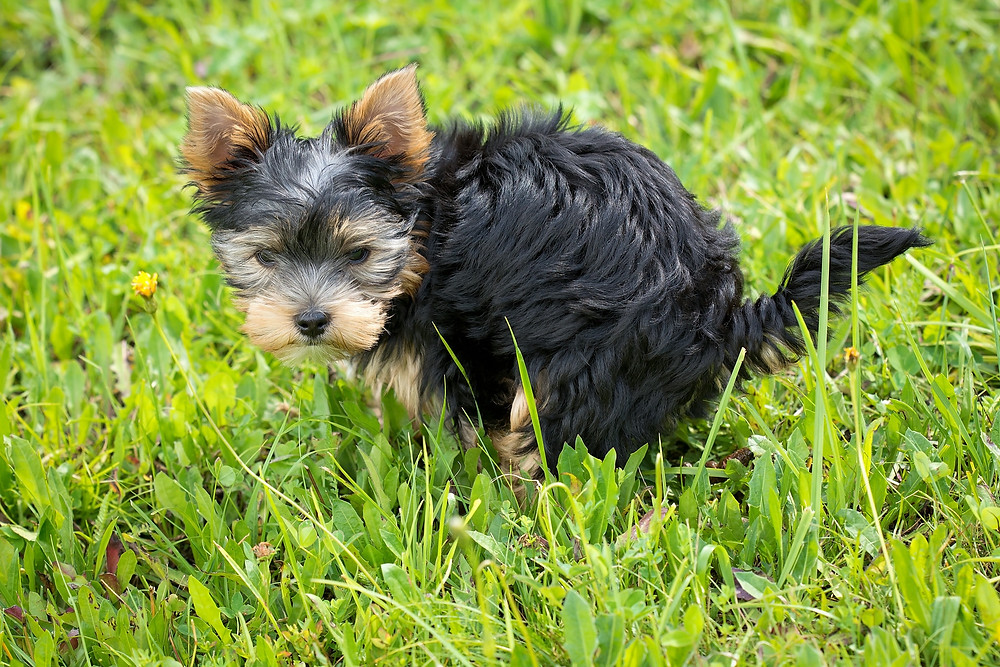 small dog pooping outside in the grass