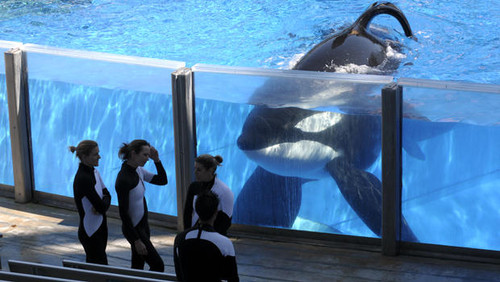 A whale held in captivity at Sea World
