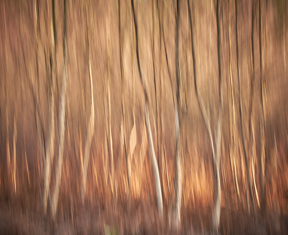 Abtract Silver Birch Trees 2