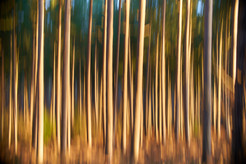 Abstract Pine Trees