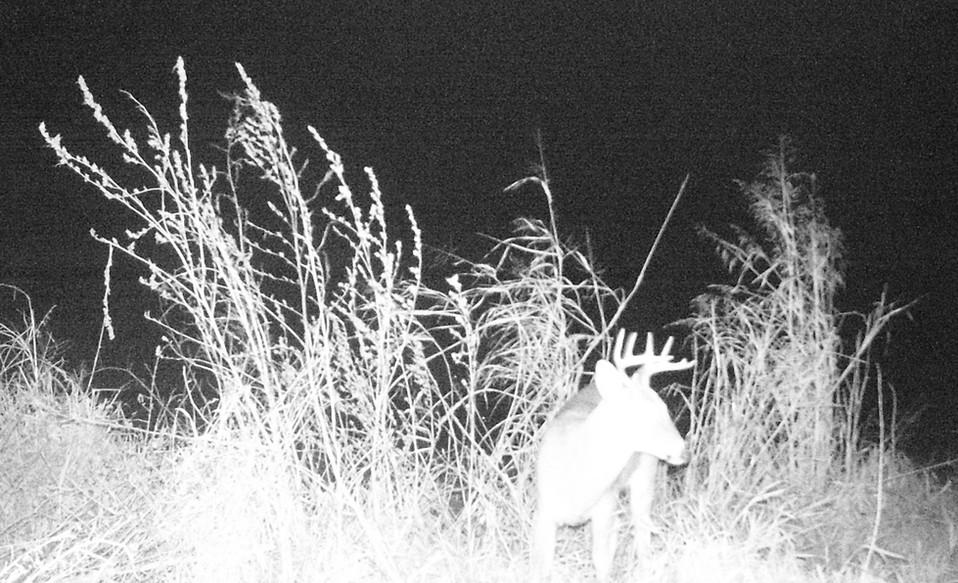 1 Young Buck.JPG