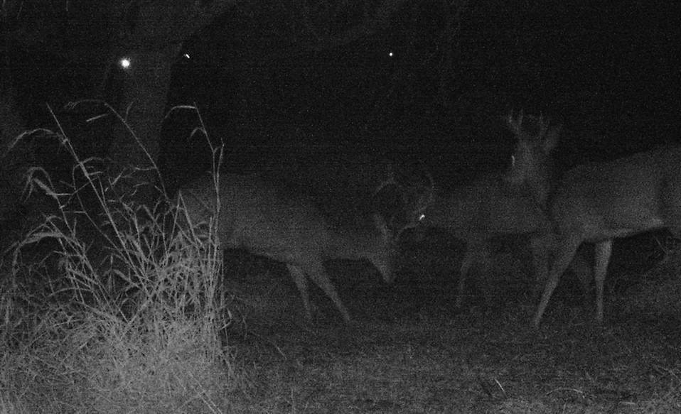 Bucks Fighting.JPG