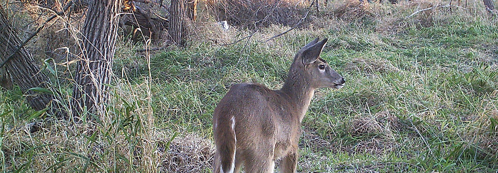 Young Fawn Daytime Pic.JPG