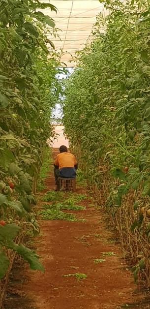 tomatos in full swing