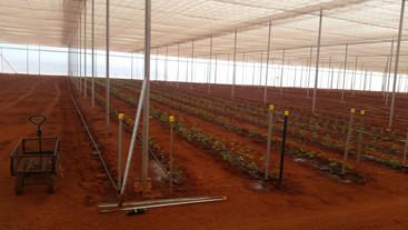 Tomatos being planted