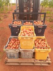 harvested tomatos