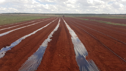 Rows ready for planting