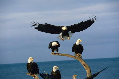 GATHERING OF EAGLES.jpg