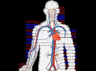 737px-Circulatory_System_en.svg.png