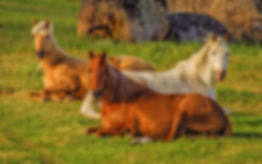 Horses laying at Cherry Tree Equine.jpg
