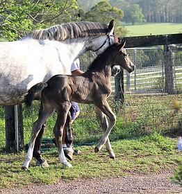 Quintera foal 7.jpg