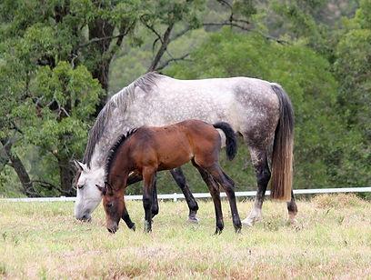 Caskari as foal grazing.jpg