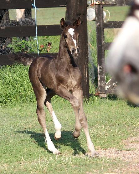 Quintera foal 3.jpg