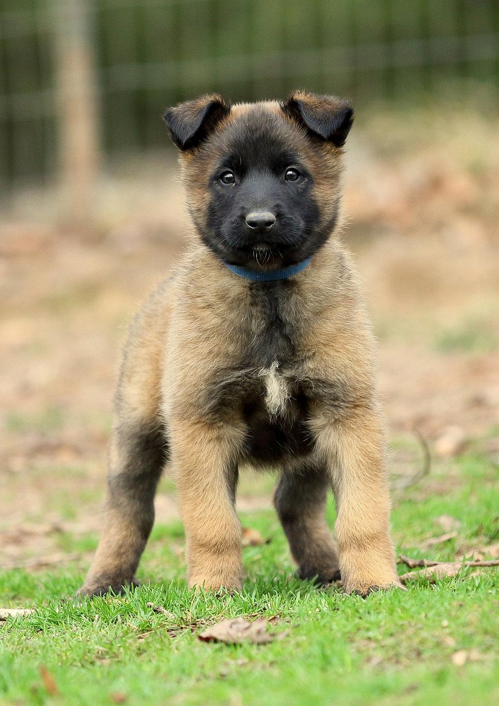 Belgium Malawa Puppies - Goldenacresdogs.com