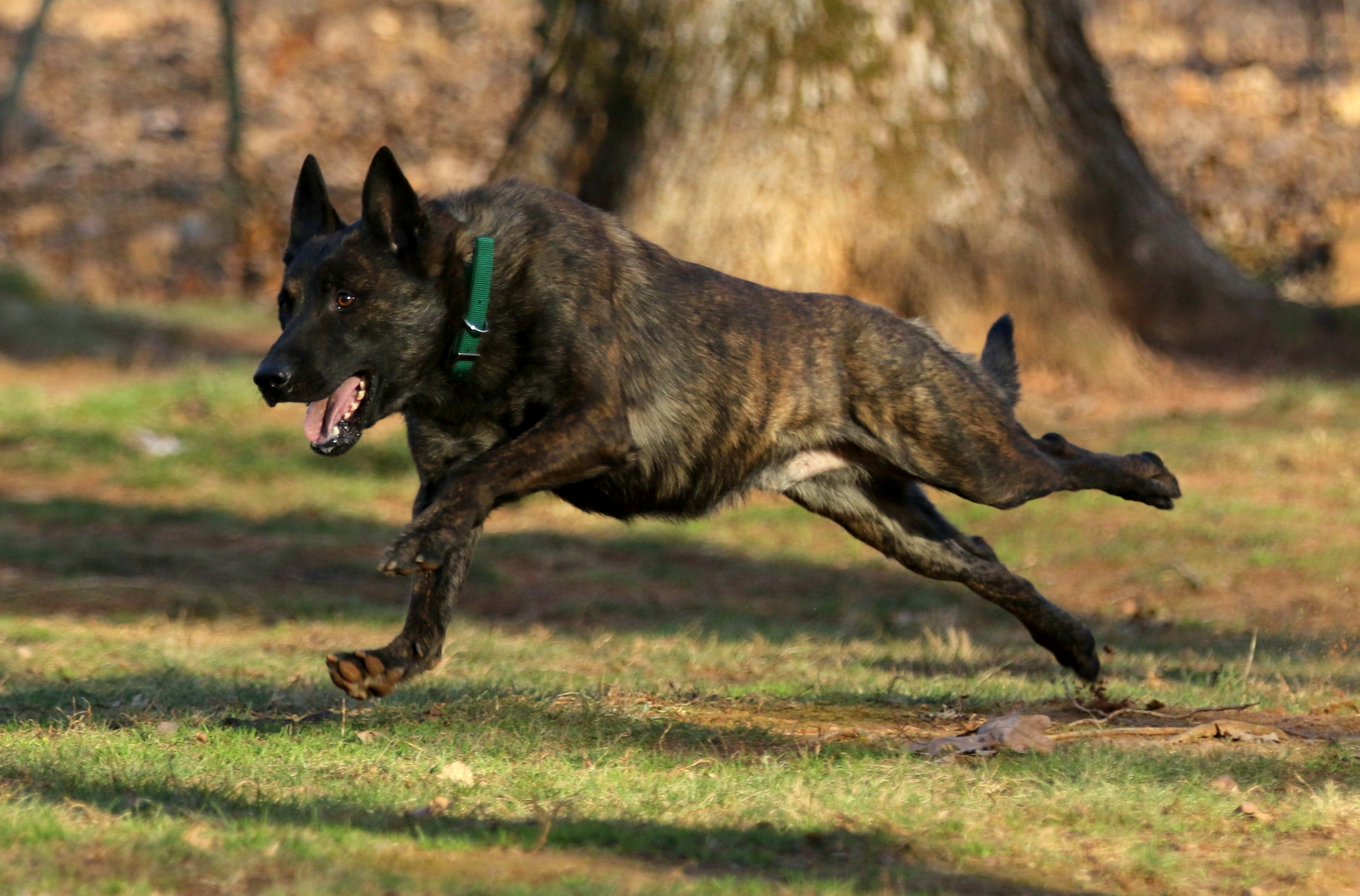 Dutch Shepherd Male Sky