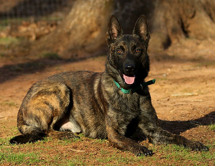 Dutch Shepherd Male