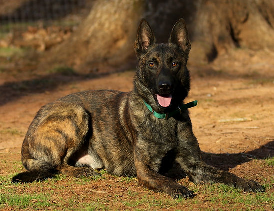 Dutch Shepherd History
