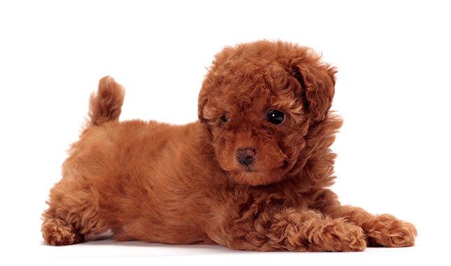 Toy Poodles In North Carolina Champion Bloodlines Akc