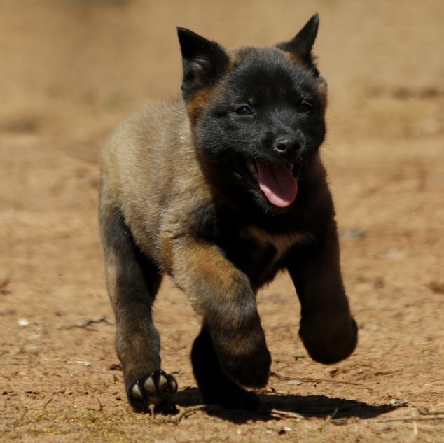 Belgian Malinois Puppies