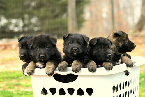 German Shepherd Deposit