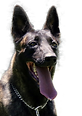 Dutch Shepherd Breeder