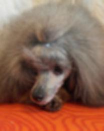Grey miniature poodle