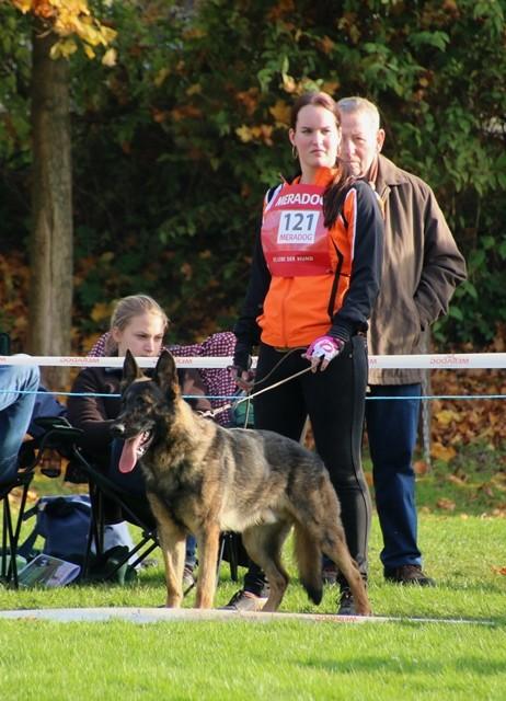 KNPV  German Shepherd Duke