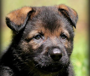 German Shepherd Breeder Health Guarantee