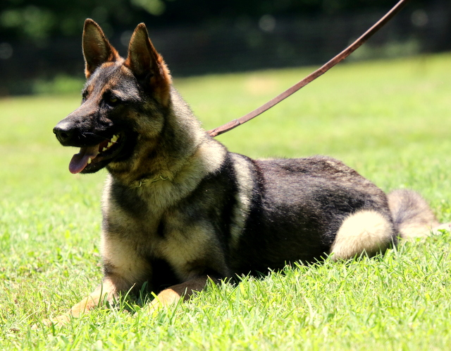 German Shepherd Hilda Dambldor