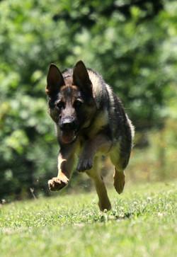 German Shepherd Hilda Dambldor